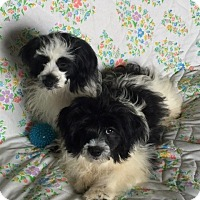 Shih Tzu/Pomeranian Mix Puppy for adoption in Sprakers, New York - Rooster and Hondo
