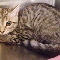 Adopt A Pet :: Nessa - Columbus, OH