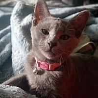 Domestic Shorthair Kitten for adoption in Herndon, Virginia - Pursha