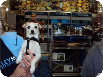 Chihuahua/Poodle (Toy or Tea Cup) Mix Dog for adoption in Sterling Heights, Michigan - Choodles