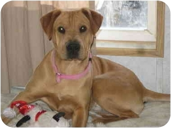 Shar Pei Mix Dog for adoption in Rock Springs, Wyoming - Pandora