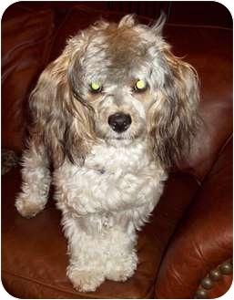 Cocker Spaniel/Yorkie, Yorkshire Terrier Mix Dog for adoption in Tallahassee, Florida - Kosmo