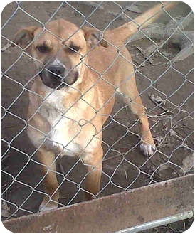 Shar Pei/Labrador Retriever Mix Dog for adoption in Ripley, Tennessee - Scout  (CNWH)