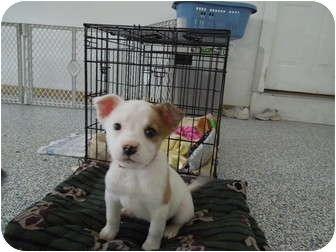 Australian Shepherd/Collie Mix Puppy for adoption in Washington, Pennsylvania - Lola