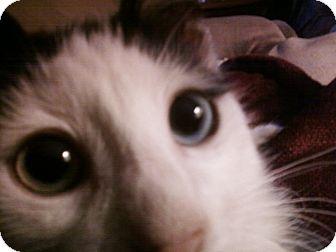 Domestic Mediumhair Cat for adoption in Yuba City, California - Jake