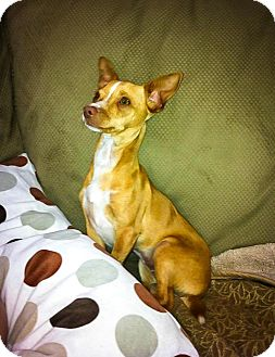 Chihuahua Mix Puppy for adoption in Pitt Meadows, British Columbia - Amber