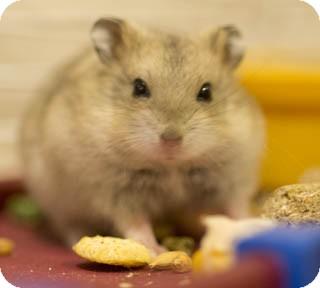 Hamster for adoption in Chicago, Illinois - Beacham