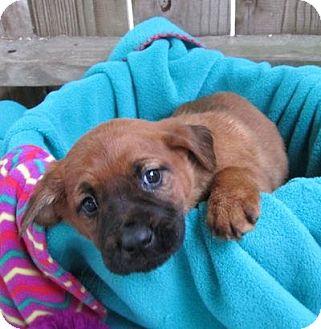 Shepherd (Unknown Type)/Labrador Retriever Mix Puppy for adoption in Kimberton, Pennsylvania - Adrienne