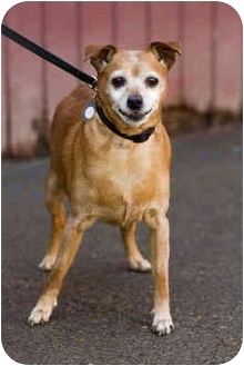 Miniature Pinscher/Chihuahua Mix Dog for adoption in Portland, Oregon - Ralph