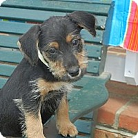 Adopt A Pet :: Sophie - Crystal River, FL