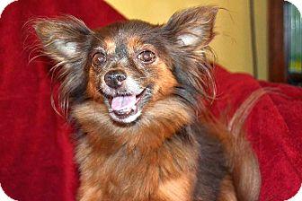 Chihuahua Mix Dog for adoption in Huntsville, Alabama - Harriette