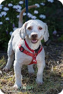 Poodle (Miniature) Mix Dog for adoption in Thousand Oaks, California - Jethro