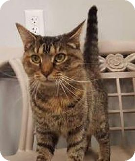 Domestic Shorthair Cat for adoption in Highland Park, New Jersey - TIFA