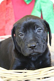 Mastiff Mix Puppy for adoption in Waldorf, Maryland - Harry