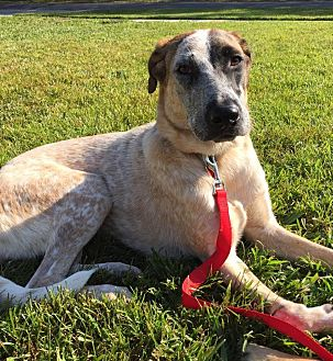 Shepherd (Unknown Type)/Hound (Unknown Type) Mix Dog for adoption in hollywood, Florida - Lindsey