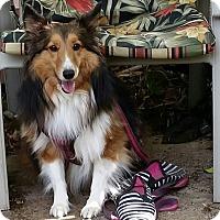 Adopt A Pet :: Acacia - La Habra, CA