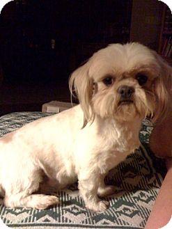 Shih Tzu Dog for adoption in Conway, Arkansas - Nosey