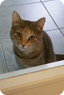 Domestic Shorthair Cat for adoption in Fairfax, Virginia - Holly