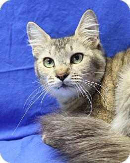 Domestic Mediumhair Cat for adoption in Winston-Salem, North Carolina - Elisa