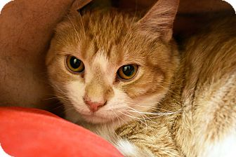 Domestic Shorthair Cat for adoption in Bristol, Connecticut - Buttercup