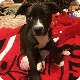 Labrador Retriever/Pit Bull Terrier Mix Puppy for adoption in Las Vegas, Nevada - Luci