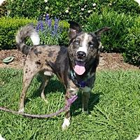 Adopt A Pet :: Vincent Van Gogh - Alpharetta, GA