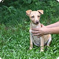 Adopt A Pet :: Shimmer - South Dennis, MA