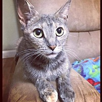 Domestic Shorthair Cat for adoption in Huntsville, Alabama - Rey