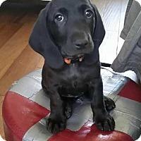 Adopt A Pet :: Ambassador Amy - Allen, TX
