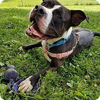 American Staffordshire Terrier Mix Dog for adoption in Grayslake, Illinois - Jynx