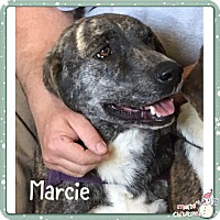 Adopt A Pet :: MARCIE - HARRISBURG, PA