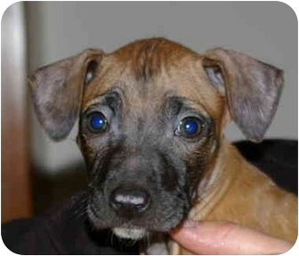 Terrier (Unknown Type, Small)/Pit Bull Terrier Mix Puppy for adoption in Northville, Michigan - Faith