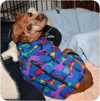 Chihuahua/Miniature Pinscher Mix Dog for adoption in Berea, Ohio - Sparky