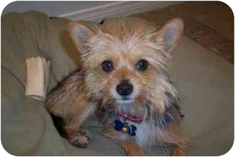 Yorkie, Yorkshire Terrier Mix Dog for adoption in West Los Angeles, California - Sammy