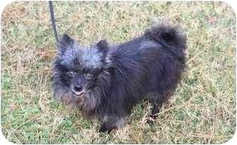 """Pomeranian Dog for adoption in Lake Jackson, Texas - Remington (""""Remi"""")"""