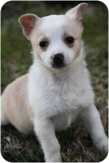 Chihuahua/Terrier (Unknown Type, Small) Mix Puppy for adoption in Yuba City, California - Sunny