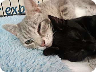Domestic Shorthair Cat for adoption in Little Falls, New Jersey - Princess (LE)