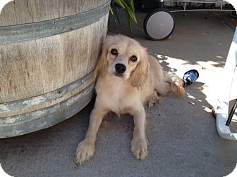 Cocker Spaniel/Cavalier King Charles Spaniel Mix Dog for adoption in Los Angeles, California - Sophia
