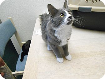Domestic Longhair Kitten for adoption in Fountain Hills, Arizona - BENTLEY