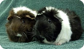 Guinea Pig for adoption in Lewisville, Texas - Nora and Fruffles