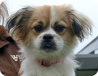 Papillon Mix Dog for adoption in white settlment, Texas - Red