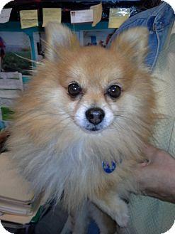 Pomeranian Mix Dog for adoption in Chicago, Illinois - Leo