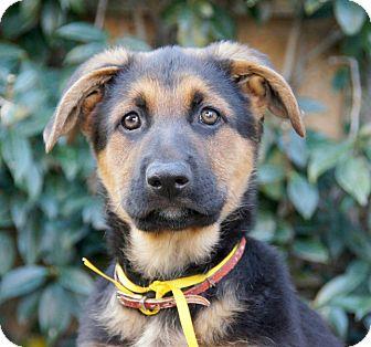 German Shepherd Dog Puppy for adoption in Thousand Oaks, California - Chopper von Hamburg