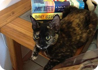 Domestic Mediumhair Cat for adoption in Satellite Beach, Florida - Etta