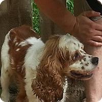 Adopt A Pet :: Juliette - Berthierville / Sorel, QC