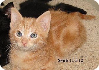 Domestic Shorthair Cat for adoption in Orlando, Florida - Swirls