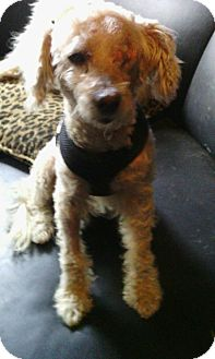 Poodle (Miniature) Dog for adoption in Los Angeles, California - Popeye