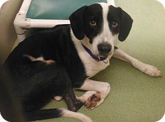 Hound (Unknown Type) Mix Dog for adoption in Parma, Ohio - Sam