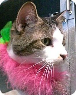 Domestic Shorthair Cat for adoption in West Warwick, Rhode Island - Jodi