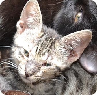 Domestic Shorthair Kitten for adoption in Tampa, Florida - Hecate